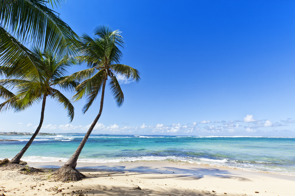 oconut palms on the Caribbean Sea beach of Le Moule, Guadeloupe